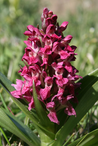 mna-ainsdale-em-orchid1.jpg