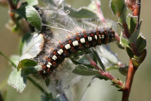 mna-ainsdale-ws-moth2.jpg