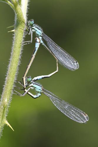 mna-common-blue-damselfly1.jpg