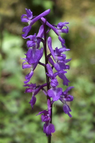 mna-early-purple-orchid.jpg