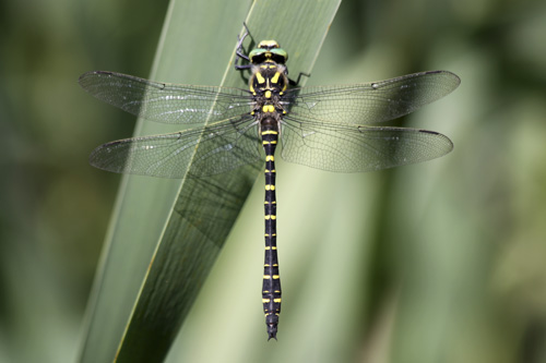 mna-golden-ringed-dragonfly1.jpg