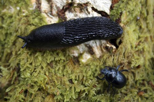 mna-haybridge-dor-beetle-slug1.jpg