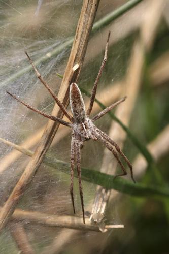 mna-haybridge-nursey-web-spider1.jpg