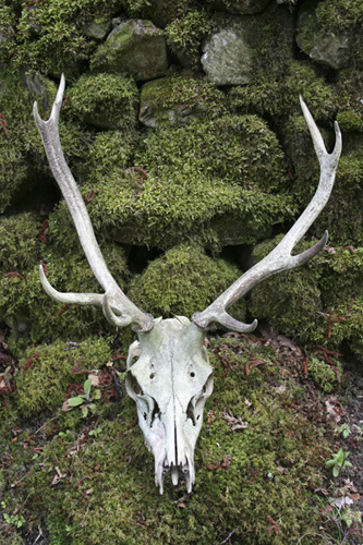 mna-haybridge-red-deer-skull.jpg