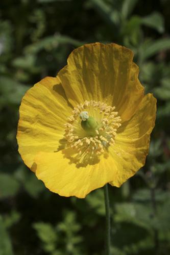 mna-trowbarrow-welsh-poppy1.jpg
