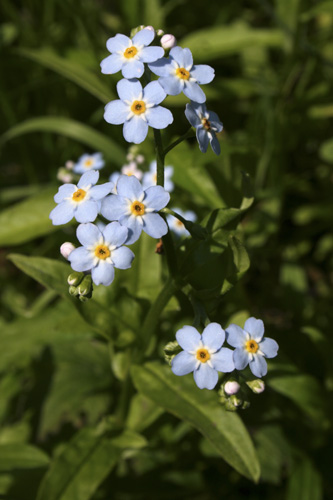 mna-water-forget-me-not1.jpg