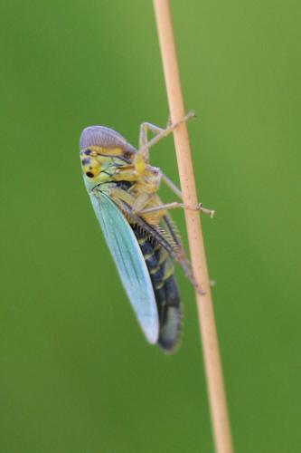 mna-leafhopper.jpg