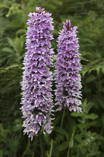 mna-penmon-cs-orchid1.jpg