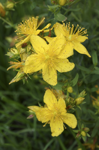 mna-perforate-st-johns-wort1.jpg