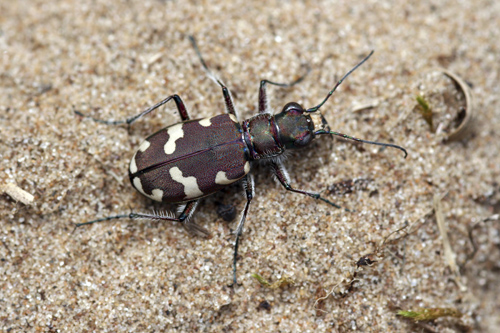 mna-northern-dune-tiger-beetle.jpg