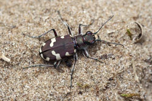 mna-northern-dune-tiger-beetle.jpg