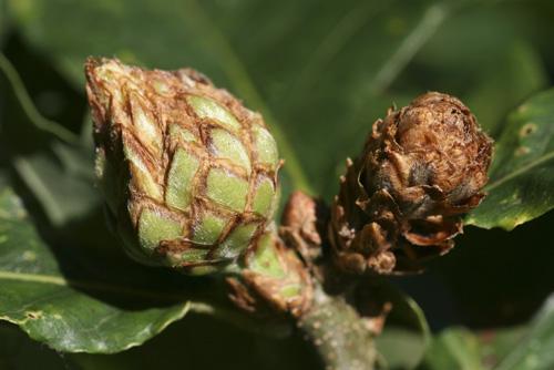 mna-artichoke-oak-gall1.jpg