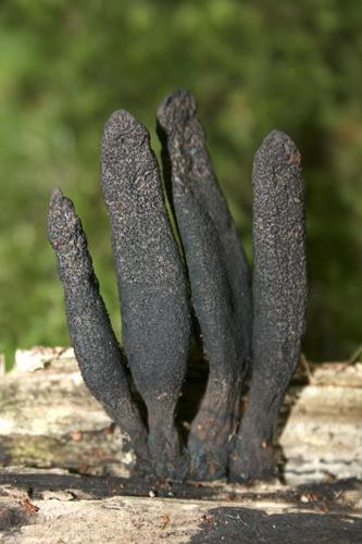mna-dibbinsdale-dead-mans-fingers1.jpg
