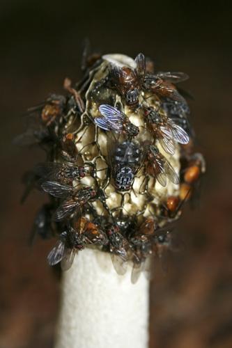 mna-dibbinsdale-stinkhorn-flies1.jpg
