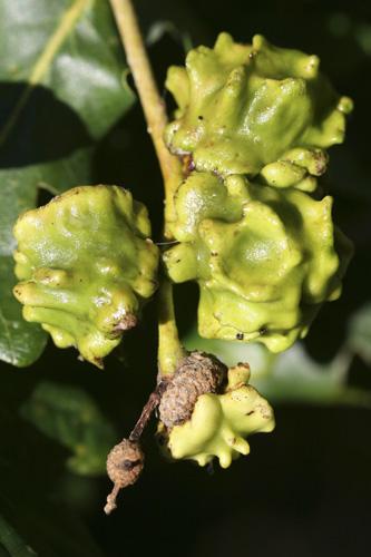 mna-knopper-oak-galls1.jpg