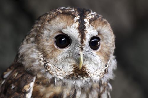 mna-martin-mere-tawny-owl3.jpg