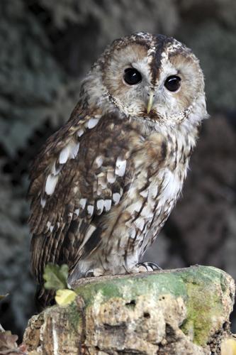 mna-martin-mere-tawny-owl4.jpg