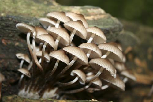 mna-dibbinsdale-bonnet-fungi1.jpg