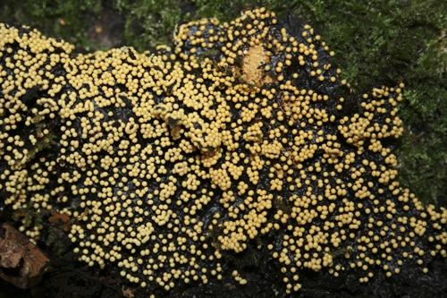 mna-eastham-yellow-dot-slime-mould1.jpg