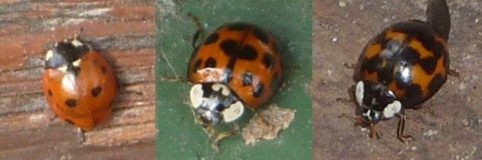 three-ladybirds.jpg