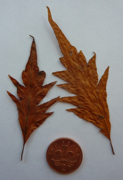 Cut-leaved beech