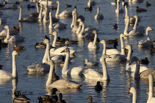 mna-martin-mere-whoopers-group1.jpg