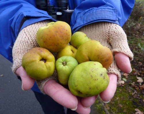 A double handful of quince
