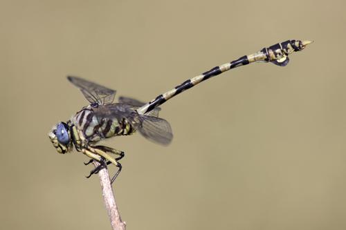small-ethiopia-dragonfly1.jpg