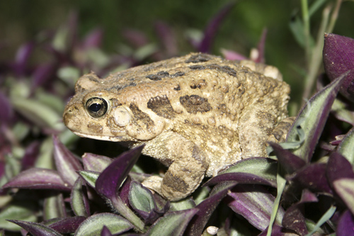 small-ethiopia-toad1.jpg