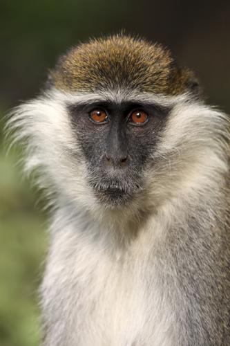 small-ethiopia-vervet-monkey1.jpg