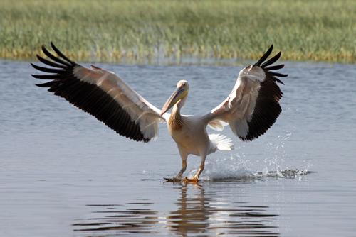 small-ethiopia-white-pelican3.jpg