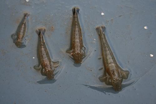 mna-brown-shrimps.jpg