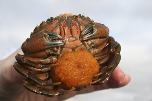 mna-marisa-crab-with-eggs1.jpg