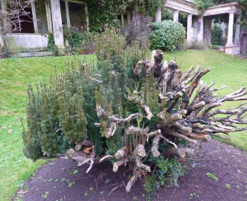 irish-yew-stump-allerton-towers.jpg