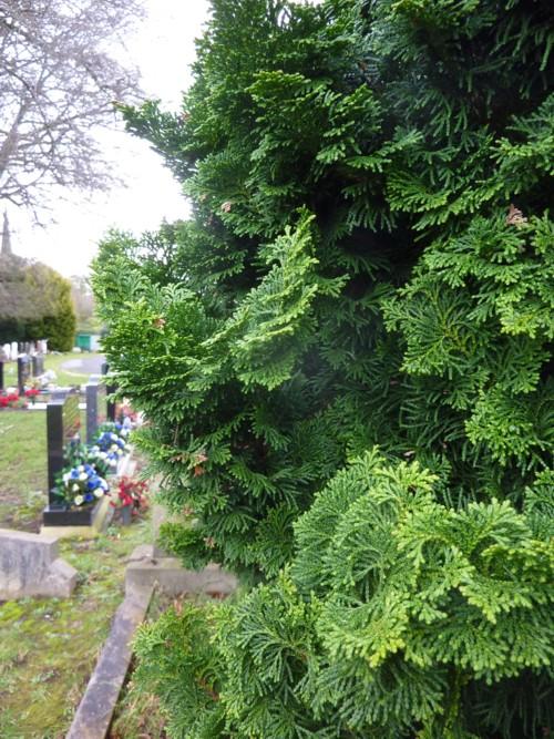 juniper-hedge-allerton-cemetery.jpg