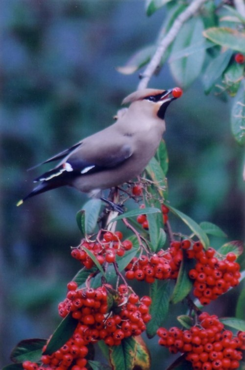waxwing-1-reduced.jpg