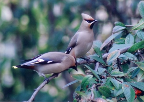 waxwing-2-reduced.jpg