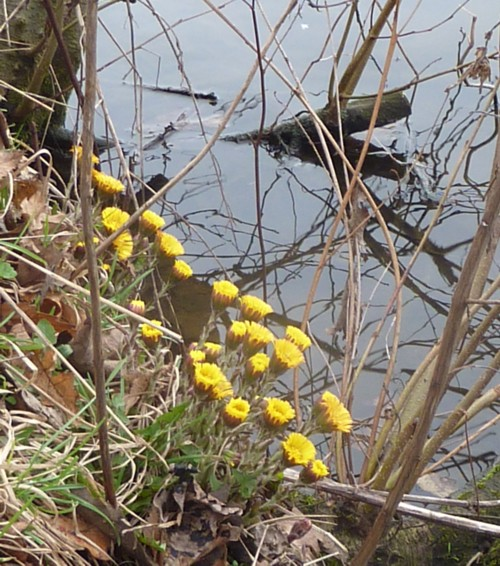 carr-mill-dam-coltsfoot.jpg