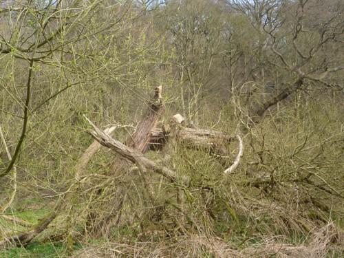 dibbinsdale-collapsed-willow.jpg