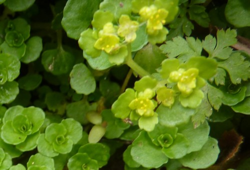 dibbinsdale-saxifrage.jpg