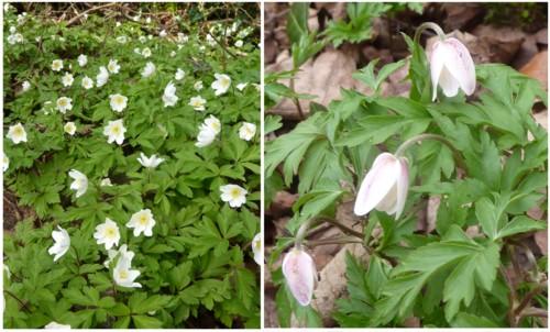 dibbinsdale-wood-anemones.jpg