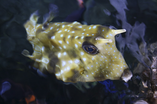 mna-long-horned-cowfish-above1.jpg