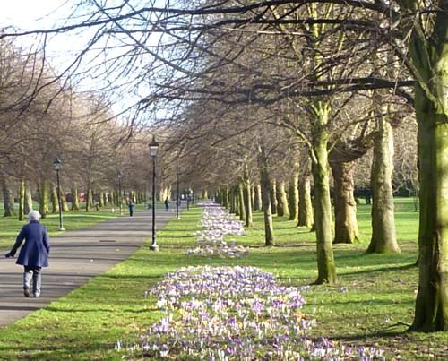 sefton-park-crocus-walk.jpg