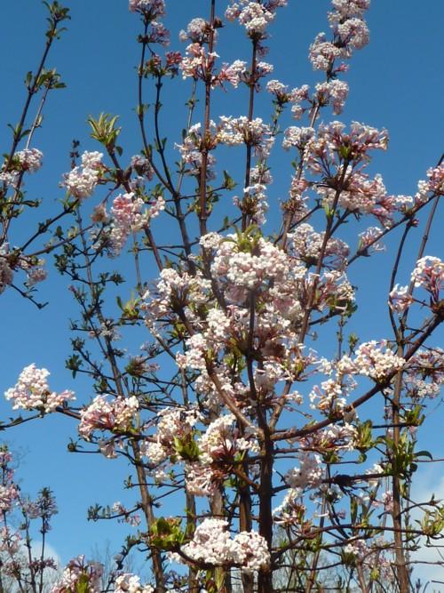 sefton-park-viburnum.jpg