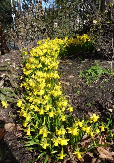 waterloo-daffodils.jpg