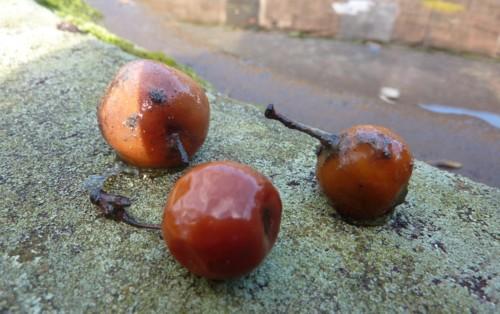 waterloo-little-apples.jpg