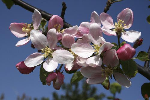 mna-conwy-apple-blossom.jpg