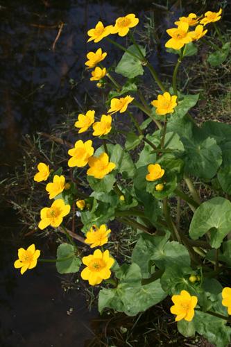 mna-conwy-marsh-marigold.jpg