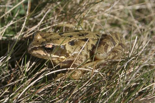 mna-hilbre-frog1.jpg