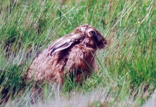 jc-walney-hare-1.jpg
